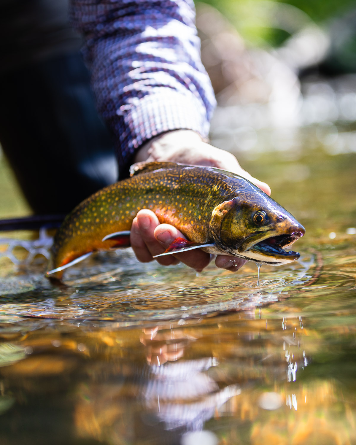 Fly Fishing Maine's Rapid River   Eastbound and Trout - photo#5